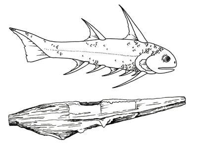 Figure 3.12: Silurian acanthodian fish reconstruction and spine. These fish reached lengths of up to 30 cm (1 foot). Spines are 5–10 cm (2–4 inches).