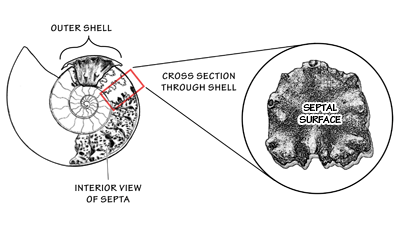 Ammonite shell break-away cross section; surface plane of a septum and sediment-filled chamber.