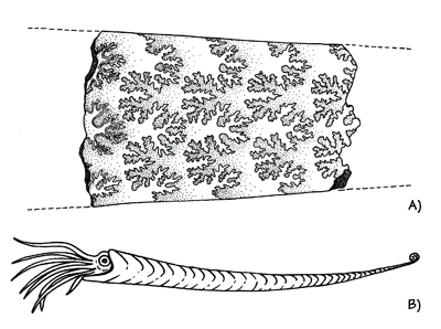 Figure 3.25: A) Broken specimen of <em class='sp'>Baculites</em>, a straight-shelled ammonite from the Cretaceous, showing internal suture lines. Usually around 3-4 centimeters (2 inches) in diameter. B) Reconstruction.