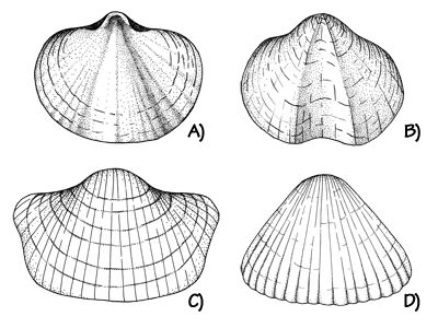 The difference between the shells of a typical brachiopod (left) and a typical bivalve mollusk (right). Most brachiopods have a plane of symmetry across the valves (shells), while most bivalves have a plane of symmetry between the valves.