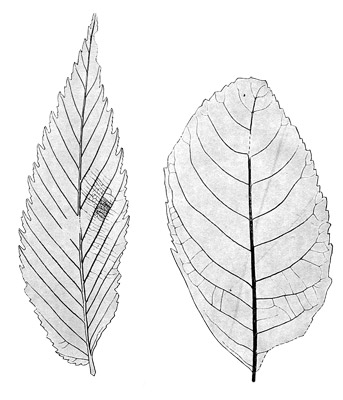 Figure 3.16: Fossil leaves of broadleaf (flowering) trees, from the Clarno Formation. Leaves are about 5 centimeters (2 inches) long.