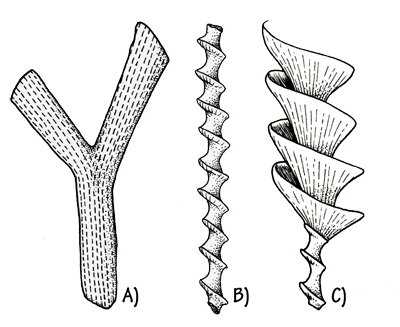 Figure 3.14: Bryozoans. A) <em class='sp'>Rhombopora</em> sp., Ordovician. About 5–10 cm (2–4 inches) long. B) <em class='sp'>Archimedes</em> sp., Carboniferous. <em class='sp'>Archimedes</em> colonies consisted of a screw-shaped axis, with a spiral fan connected to the &ldquo;threads&rdquo; of the screw. The tiny bryozoan animals lived in chambers on the fan. In some localities, thousands of these &ldquo;fossil screws&rdquo; cover the ground. They are usually less than an inch long. C) <em class='sp'>Archimedes</em> life reconstruction.