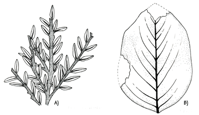 Figure 3.28: Cretaceous fossil leaves from Minnesota. A) <em class='sp'>Metasequoia</em> sp. Leaves about 0.25 cm (0.1 inch) long. B) <em class='sp'>Magnolia</em> sp. Leaf about 12 cm (5 inches) long.