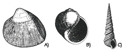 Figure 3.27: Eocene marine mollusks from Washington, Oregon, and California. A) Bivalve, <em class='sp'>Nemocardium</em>, about 3 centimeters (1.3 inches). B) Gastropod, <em class='sp'>Natica</em>, about 2 centimeters (1 inch). C) Gastropod, <em class='sp'>Turritella</em>, about 3 centimeters (1.3 inches).