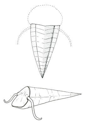 Figure 3.5. Hyolithid. About 1–2 cm Length (less than an inch) long.