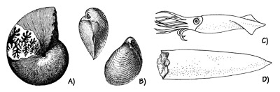 Figure 3.8: Jurassic marine mollusks. A) Ammonite, <em class='sp'>Phylloceras</em>, about 15 centimeters (6 inches) in diameter. B) Bivalve, <em class='sp'>Buchia piochii</em>, about 5 centimeters (2 inches) in diameter. C. Reconstruction of a typical belemnite as it appeared alive. D) Belemnite internal shell; most are 5 - 10 centimeters (2.5 - 5 inches) long.