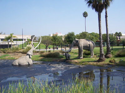Figure 3.30: A life-size model of a Columbian mammoth (<em class='sp'>Mammuthus columbi</em>) shown stuck in the tar outside the Page Museum at the La Brea Tar Pits in downtown Los Angeles. Columbian mammoths were close relatives of woolly mammoths, and became extinct about 11,000 years ago. They ranged from the southern US to Nicaragua and Honduras, but not as far north as the woolly mammoth.