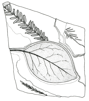 "Figure 3.17: The ""dawn redwood,"" <em class='sp'>Metasequoia</em> (top) with an unidentified broadleaf angiosperm. Slab is about 5 centimeters (2 inches) wide."