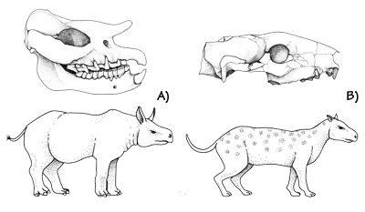 Figure 3.18: Mammal fossils from the John Day beds of Oregon. A) A hornless rhinoceros, <em class='sp'>Teletoceras</em>; skull is roughly 20 centimeters (10 inches) long. B) A small sheep-like herbivorous mammal called an oreodont, <em class='sp'>Eporedon</em>; skull is about 12 centimeters (5 inches) long.