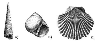 Figure 3.29: Neogene (Miocene - Pliocene) fossil mollusks of the coast of Oregon and California. A) <em class='sp'>Turritella</em>, about 3 centimeters (1.3 inches). B) <em class='sp'>Polinices</em>, about 2 centimeters (1 inch). C) <em class='sp'>Flabellipecten</em>, about 4 centimeters (1.5 inches).