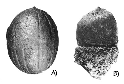 "Figure 3.15: Fossil seeds from the Clarno ""nut beds"": A) Walnut (<em class='sp'>Juglans</em>), about 2 centimeters (0.8 inches). B) Oak acorn (<em class='sp'>Quercus</em>), about 2.5 centimeters (1 inch)."