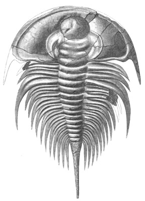 Figure 3.21: Cambrian trilobite <em class='sp'>Olenellus</em>. These and similar forms occur in Cambrian rocks in California and Nevada. They are typically 5 - 10 centimeters (3 - 6 inches) long.