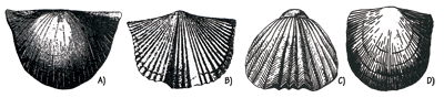 Figure 3.9: Ordovician brachiopods from Ohio and Minnesota. A) <em class='sp'>Strophomena incurvata</em>. B) <em class='sp'>Platystrophia biforata</em>. C) <em class='sp'>Rhynchotrema capax</em>. D) <em class='sp'>Rafinesquina alternata</em>. Each about 4 cm (1.5 inches) wide.