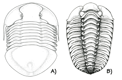 Figure 3.7: Ordovician trilobites. A) <em class='sp'>Isotelus maximus</em>, state fossil of Ohio. This species reached more than 30 cm (1 foot) long. B) <em class='sp'>Calymene celebra</em>, state fossil of Wisconsin. About 2 cm (1 inch) long.
