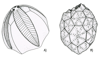 Figure 3.22: A) Blastoid. <em class='sp'>Pentremites</em> sp. 1–2 cm (about .75 inches) long. B) Cystoid. <em class='sp'>Caryocrinites</em> sp. 1–2 cm (about .75 inches) long.
