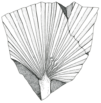 Figure 3.40: A palm fossil, common in the Mesozoic and today known primarily in warm climates. About 0.7 meters (2 feet) wide.