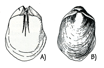 Figure 3.10: The Silurian brachiopod <em class='sp'>Pentamerus</em> is often preserved as an internal mold. A) The &ldquo;slots&rdquo; show the location of supports for internal organs that extended into the interior of the shell. These strange-looking fossils are sometimes called &ldquo;pig&rsquo;s feet.&rdquo; B) The exterior of the shell. Specimens are about 2 cm (1 inch) long.