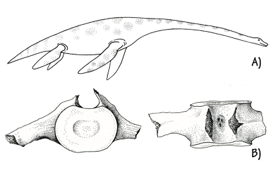 Figure 3.25: A) Reconstruction of a plesiosaur in life. Some plesiosaurs reached 15 meters (50 feet) long. B) Plesiosaur vertebrae. About 20 cm (8 inches) across.