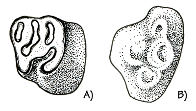 Figure 3.38: Miocene rodent teeth from the Texas Coastal Plain.