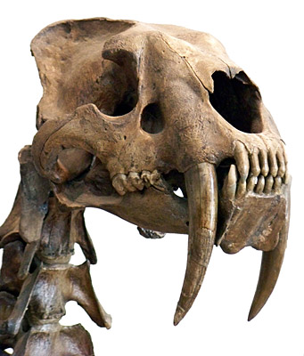 Figure 3.34: The skull of <em class='sp'>Smilodon fatalis</em>.