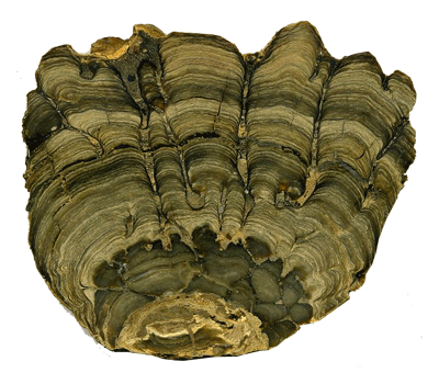 A stromatolite from the Green River Formation (Eocene) of southwestern Wyoming.